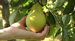 Woman's hand checking pear size tree farmer orchard agriculture close up  4k UHD Stock Footage