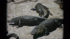 1952: alligators or crocodiles sunning and walking on large rocks CAMDEN Stock Footage