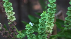 Bush of basil (Ocimum basilicum) Flower leaves  and seeds zoom out 4k UHD Stock Footage