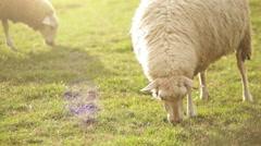 Sheep grazes in the meadow on a sunny afternoon near Ružomberok, Slovakia Stock Footage