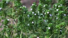 Thymus vulgaris thyme garden thyme german thyme or just thyme zoom in 4k UHD Stock Footage