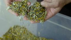 Farmers pick tea leaves are produced Stock Footage