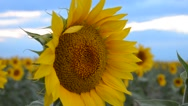 A hand held DSLR shot of a fully bloomed sunflower towards the end of the summer Stock Footage