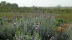 Field of blooming purple flowers alfalfa Stock Footage