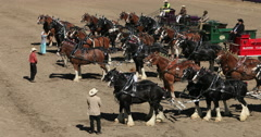 Draft horse teams and wagons Gentle Giants DCI 4K Stock Footage
