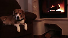 Graceful beagle lies in an armchair near the fireplace with fire burning Stock Footage