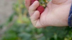 Hands with fresh strawberries collected in the garden Stock Footage