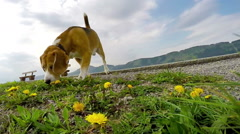 Slow-motion footage of a beagle sniffing the ground while on the walk in spring Stock Footage