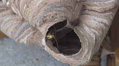 Wasp in the nest close up headone of them moving his jaws 4k UHD Stock Footage