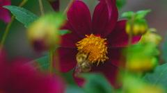 Bumblebee on dahlia flower Stock Footage