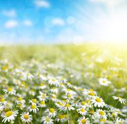 Field of marguerites in sunny day. Stock Photos