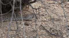 4K Rattlesnake Flicks Tongue Slithers Along Dry Desert Terrain Stock Footage