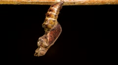 Butterfly completes metamorphosis and separates from pupal case in time lapse Stock Footage