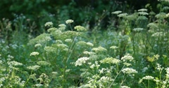 Summer wildflowers Cow Parsley during sunrise Stock Footage