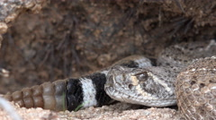 4K Rattlesnake Flicks Tongue Hides In Underground Nest Close Up Stock Footage