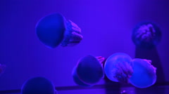 Blue Jelly blubber Jellyfish in dark blue ocean with illuminated light Stock Footage