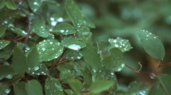 Floral garden. The dew drops lying on the leaves of roses. Stock Footage