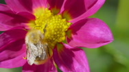Bumblebee on dahlia flower Stock Footage