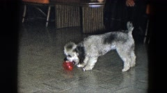 1961: a puppy plays with a ball on a tile floor with people observing him nearby Stock Footage
