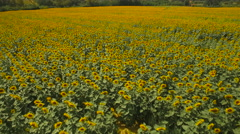 Beautiful Sunflowers Growing On Field At Farm Stock Footage