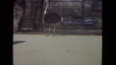 1972: ostrich bird free roaming zoo grounds unique beautiful coloured CHICAGO Stock Footage
