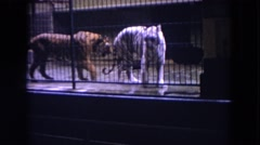 1972: orange tiger following a white tiger in a cage at the zoo CHICAGO Stock Footage