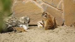 Family of meerkat playing outdoor Stock Footage