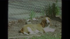 1972: basset hound sniffing grass and dandelions and resting in sunny yard Stock Footage