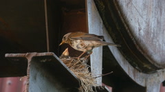 Female Fieldfare on the nest Stock Footage