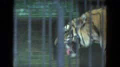 1972: wild animal tiger caged moves up down grinning CHICAGO, ILLINOIS Stock Footage