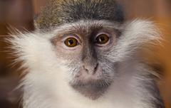 Young female green monkey looking seriously directly at the viewer. The struggle Stock Photos