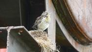 Nestling thrush Fieldfare sitting on a nest Stock Footage