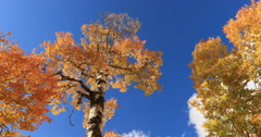 Forest autumn fall colors Aspen trees look up DCI 4K Stock Footage