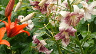 Tiger and Orange Lily flower after rain Stock Footage
