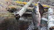 Fresh fish and old ways of its preservation.  Prussian carp Carassius Stock Footage