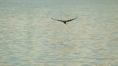 Lone graceful Canadian Goose flying low over water in slow motion Stock Footage