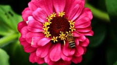 Closeup Of Bee Gathering Pollen On Red Flower Stock Footage