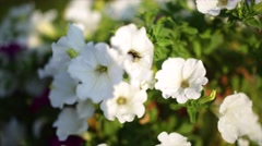 Close-up flowers of white petunias Stock Footage