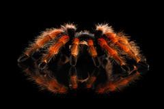 Big hairy Tarantula Theraphosidae isolated on Black Background Stock Photos