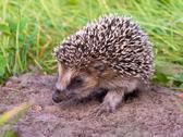 Hedgehog Baby close up Stock Photos
