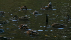 Wild ducks on the lake in the park. Stock Footage