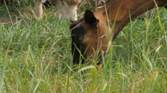 Brown goat grazing grass, head close up by Pakito. Stock Footage