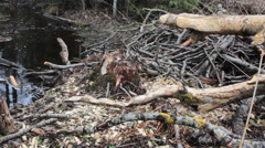 Forest stream and traces of vital activities. Foraging behavior of animals Stock Footage