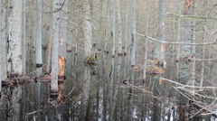 Death of old forest 3. Beavers flooded old spruce forest Stock Footage