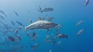 Shark swims through fish at camera Stock Footage