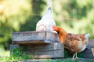 Hens eat from the manger Stock Photos