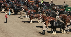 Parade Gentle Giant Draft Horse teams DCI 4K Stock Footage