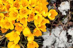 Yellow crocus sativus between ice crystals, flat lay, concept spring Stock Photos
