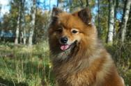 The dog-man's best friend, the German Spitz is beautiful Stock Photos