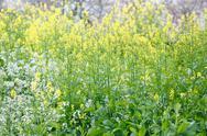 Field mustard Stock Photos